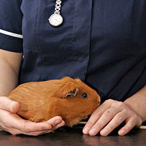 The Vet Whetstone's tips for guinea pig travel