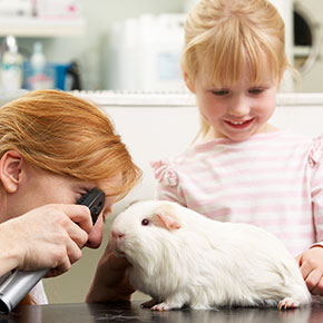 Guinea pig check-ups in Whetstone – what to expect