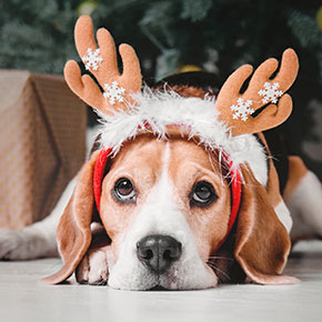 The Vet Whetstone's festive food safety for dogs