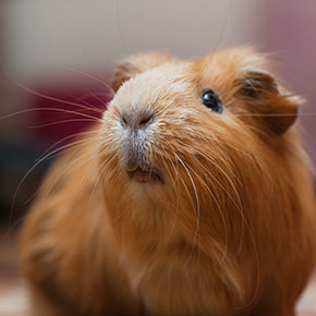 Care essentials for guinea pigs in Whetstone