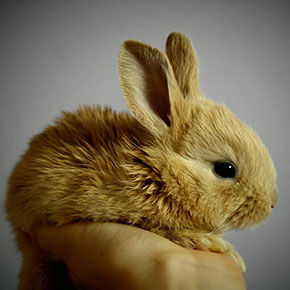 About rabbit pregnancy and how to deal with it