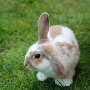 The Vet Whetstone's checklist for spotting fleas on rabbits