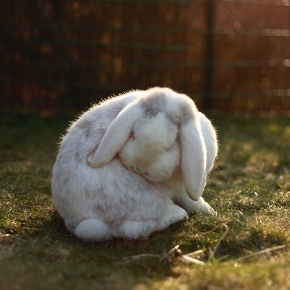Rabbits need help with grooming – especially in moulting season, say the team at The Vet Whetstone