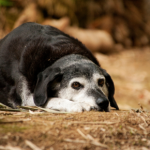 Take The Vet Whetstone's canine health assessment quiz for older dogs