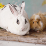 Summer risks & diseases affecting rabbits & guinea pigs in North London