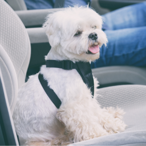Albert's 10 steps to treating car sickness in dogs