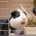 10 things your Guinea Pig will need when you're on holiday