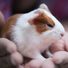Advice on guinea pig breeding from The Vet Whetstone