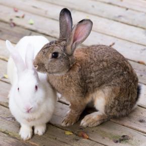 Our head nurses advises if rabbits, guinea pigs & hamsters need companions